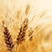 aboutwheat instrument